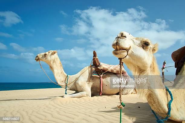Zwei Kamele von Boa Vista, Cape Verde