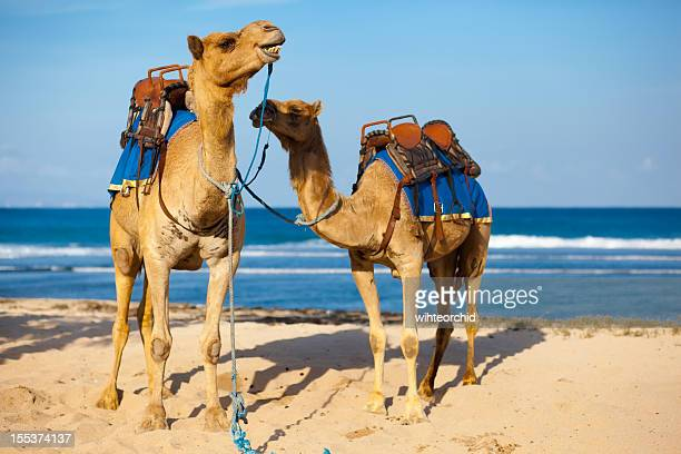 Two camels ready to be ride on the beach