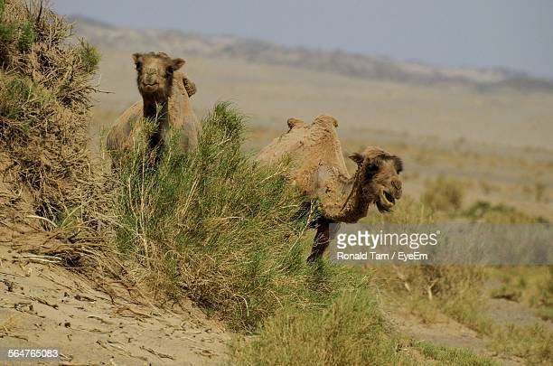 Two Camels Standing In Desert