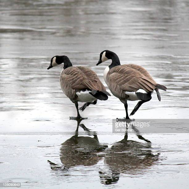 Two canada goose walking on ice