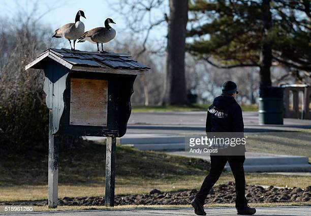 Two Canadian Geese keep watch on a pedestrian as he walks past them while perched on top of a message board at Washington Park March 16 2016