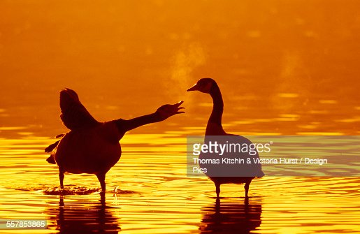 Two canadian geese standing in water at sunset one squawking at the other one