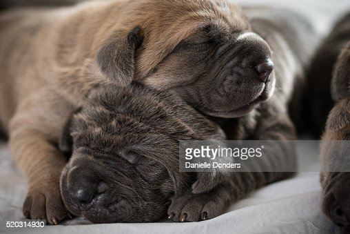 Two cane corso mastiff puppies sleeing in a pile