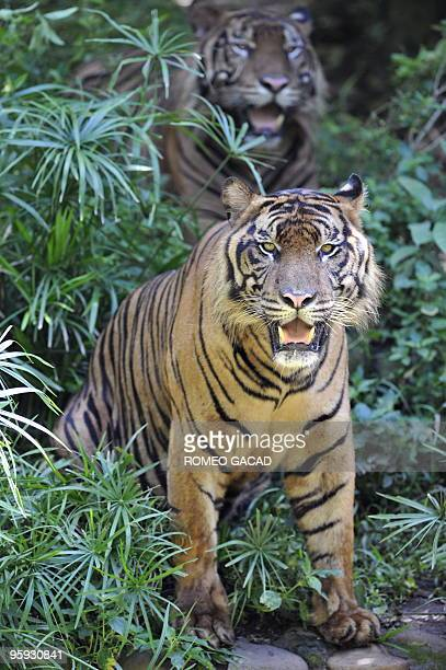 Two captive Sumatran tigers pad through their enclosure at Jakarta's Ragunan Zoo on January 22 2010 The Indonesian government has hatched a plan to...