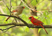 Male and female northern cardinal, Cardinalis cardinalis, perched on a tree branch