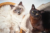 Two cats in wicker basket. Burmese cat and Sacred birma cat lying in a basket and looks at camera. Top view.