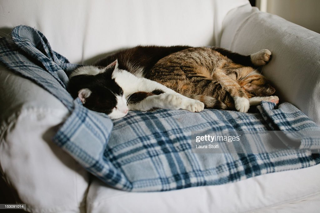 Two cats sleeping very close on checked blanket : Stock Photo