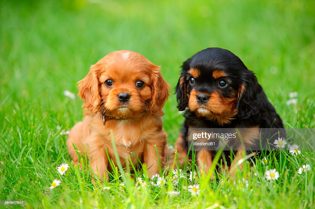 Two Cavalier King Charles Spaniel puppies sitting on a meadow