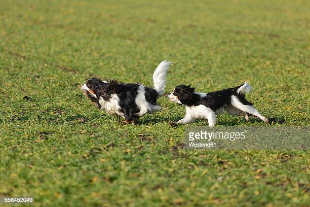 Two Cavalier King Charles Spaniels running on a meadow