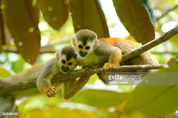 Two Central American squirrel monkeys -Saimiri oerstedii-, Manuel Antonio National Park, Central Pacific Coast, Costa Rica, South America