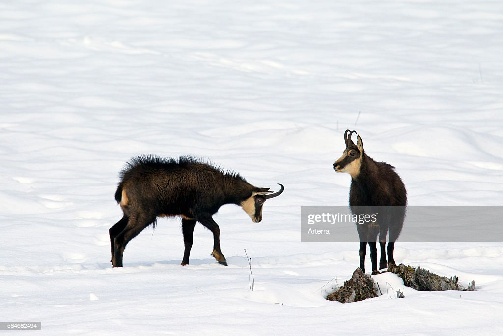 Two Chamois bucks during the rut in the snow in winter Gran Paradiso National Park Italian Alps Italy