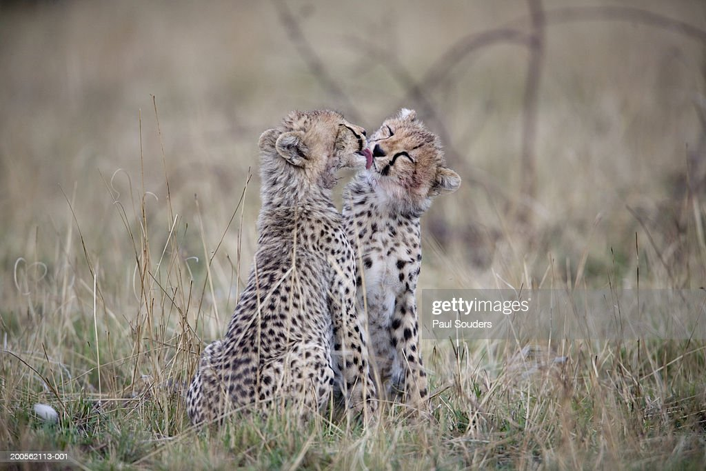 Two cheetah (Acinonyx jubatas) cubs licking each other : Stock Photo
