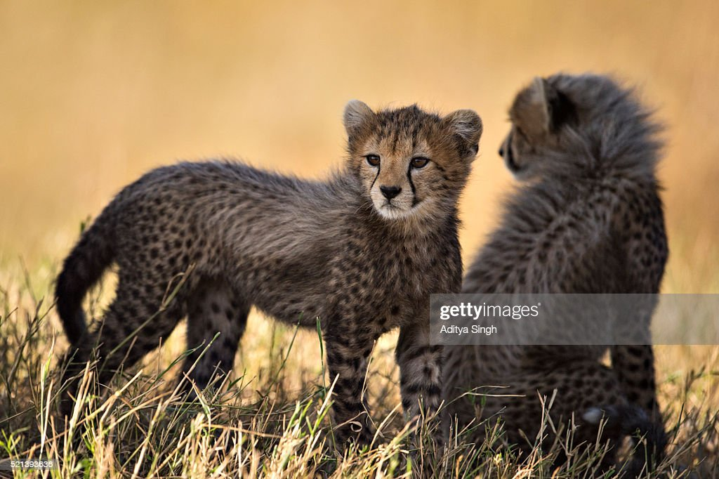 Two cheetah cubs