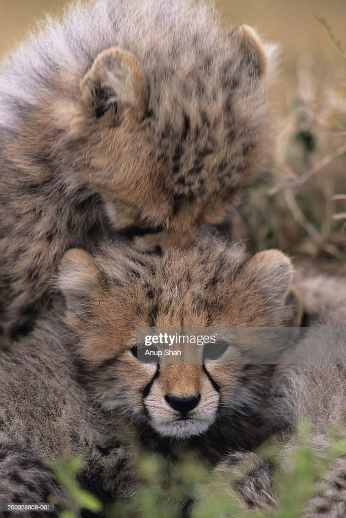 Two Cheetah cubs (Acinonyx jubatus) playing, Kenya : Stock Photo