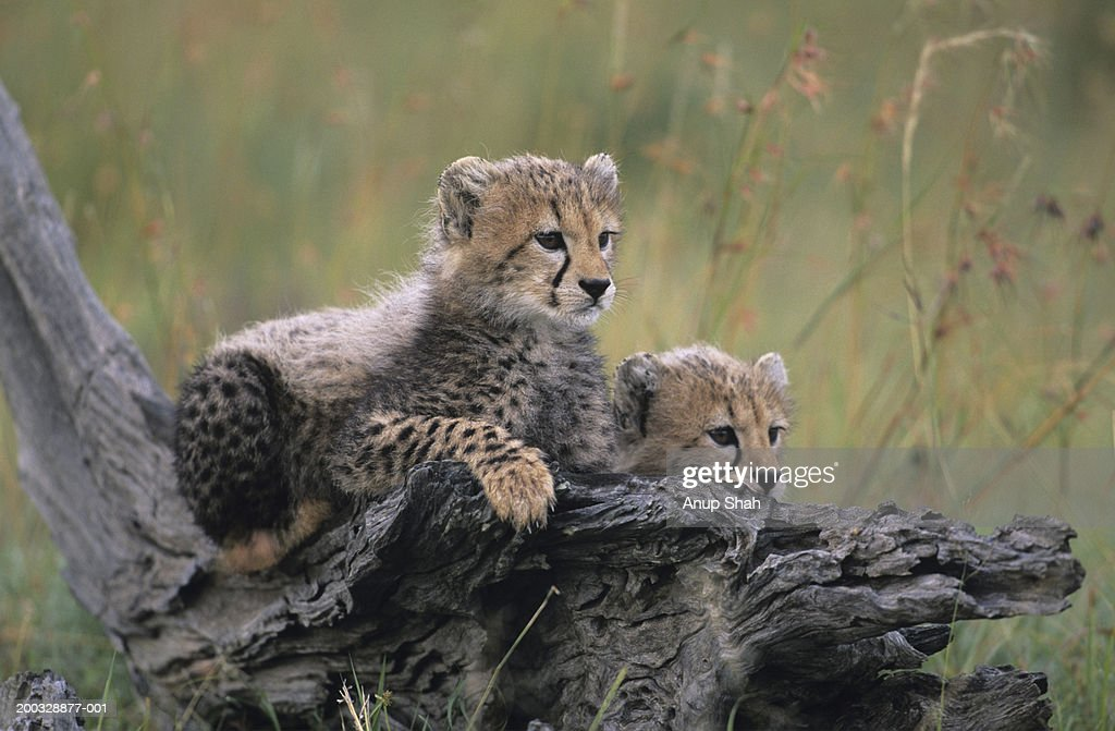 Two cheetah cubs (Acinonyx jubatus), resting on branch on savannah, Kenya : Stock Photo