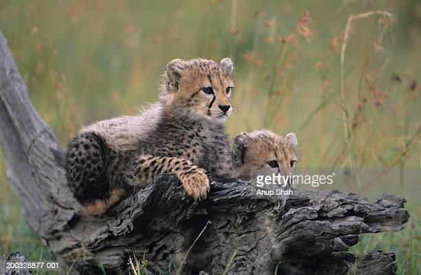 Two cheetah cubs (Acinonyx jubatus), resting on branch on savannah, Kenya