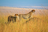 Two cheetah in high grass