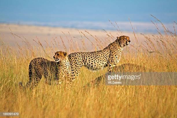 Zwei Gepard in hohem Gras