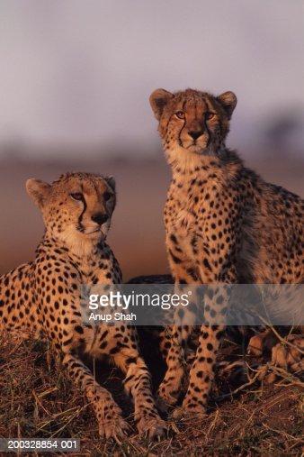 Two cheetahs (Acinonyx jubatus), sitting on savannah, Kenya : Stock Photo