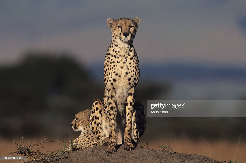 Two cheetahs (Acinonyx jubatus) watching from rock, Kenya : Stock Photo
