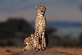 Two cheetahs (Acinonyx jubatus) watching from rock, Kenya