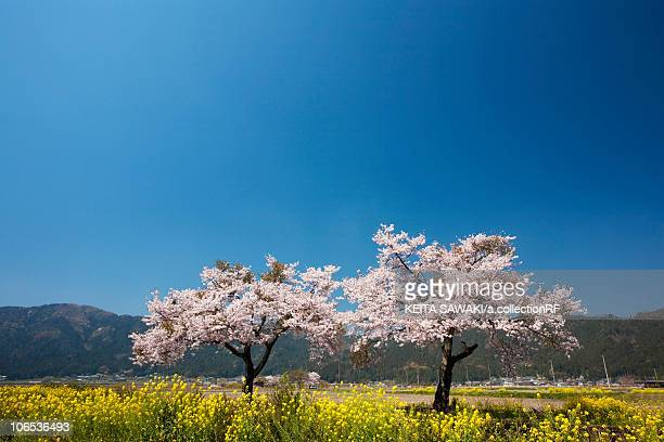 Two Cherry Blossom Trees Blooming in the Flower Field