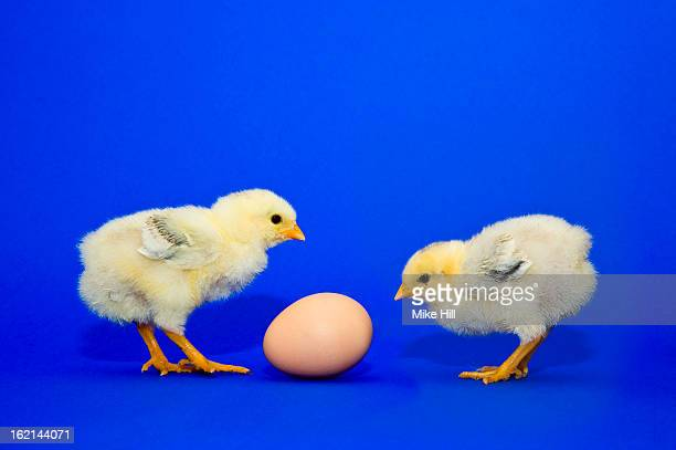Two chicks looking at a chicken's egg
