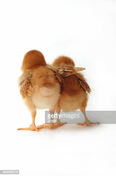 Two chicks on white helping