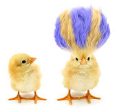 Here are two chicks. Which one is crazy?