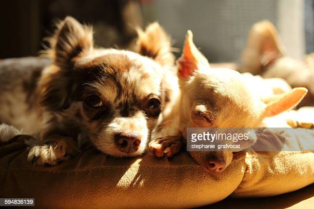 Two Chihuahua dogs lying in the sun
