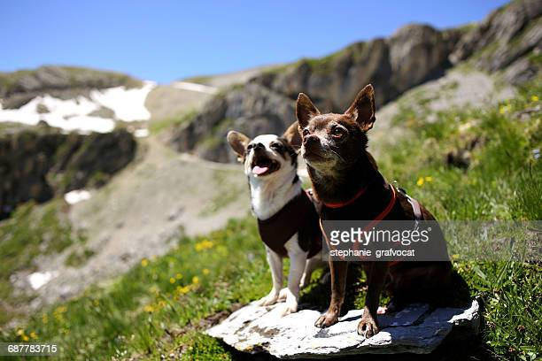 Two Chihuahua dogs sitting on a rock, Switzerland