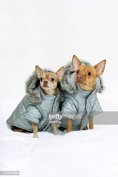 Two Chihuahuas Wearing Winter Coats