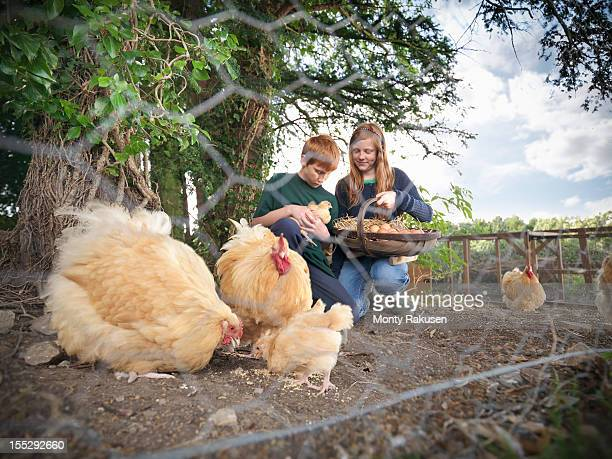 Two children collecting eggs with hens and chicks on farm, view through metal mesh fence