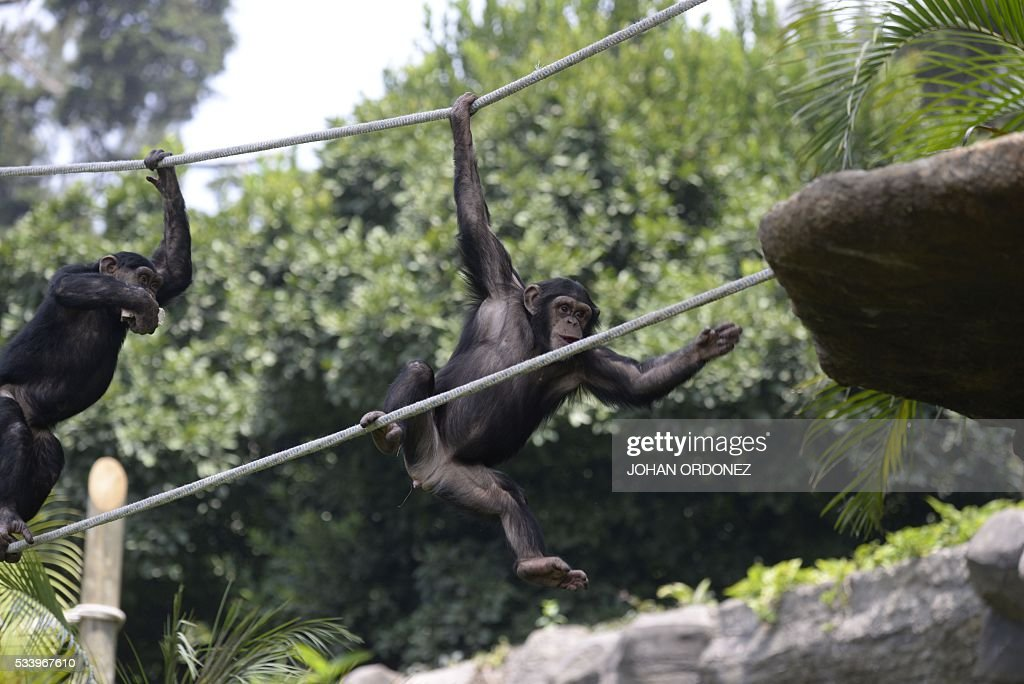 Two chimpanzees are seen in a new enclosure at the Aurora zoo in Guatemala City on May 24, 2016. La Aurora Zoo inaugurated Tuesday an enclosure to house a family of six chimpanzees donated by Sweden, reported the park managers. / AFP / JOHAN