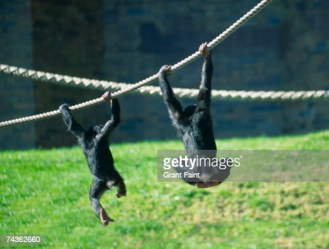 Two chimpanzees (Pan troglodytes) playing in zoo with ropes, rear view : Stock Photo