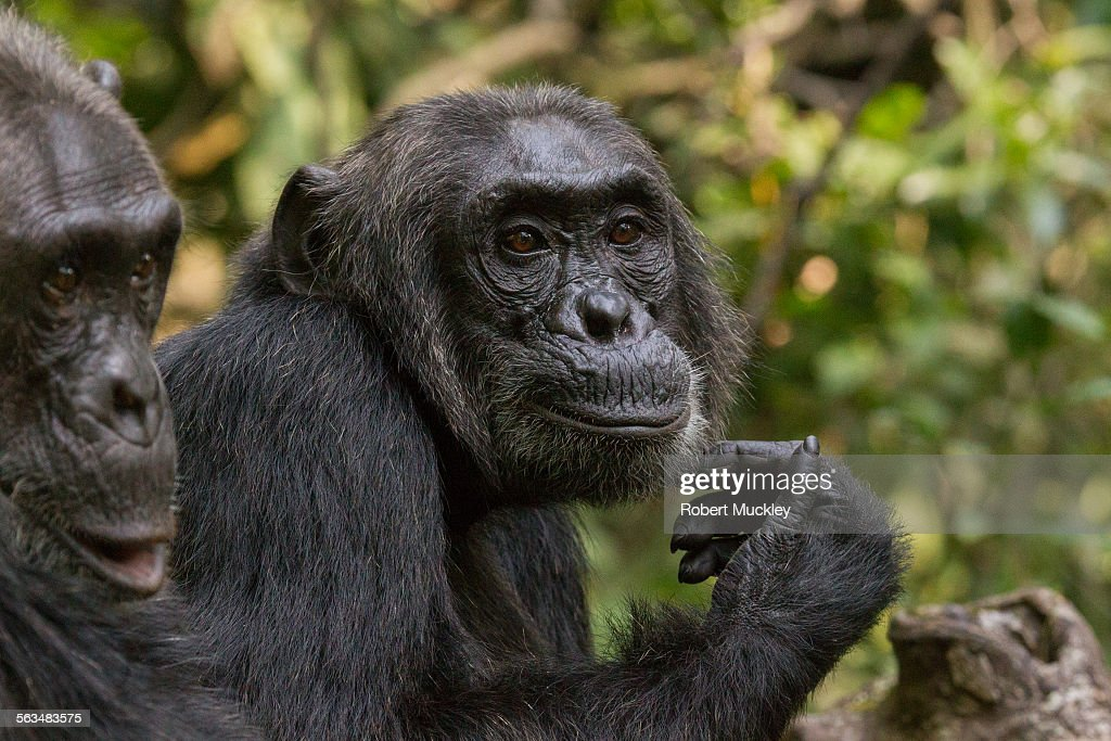 Two Chimps : Stock Photo