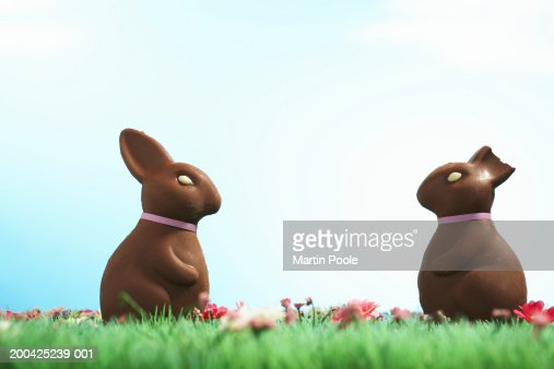 Two chocolate Easter bunnies one with half of ear bitten off : Stock Photo