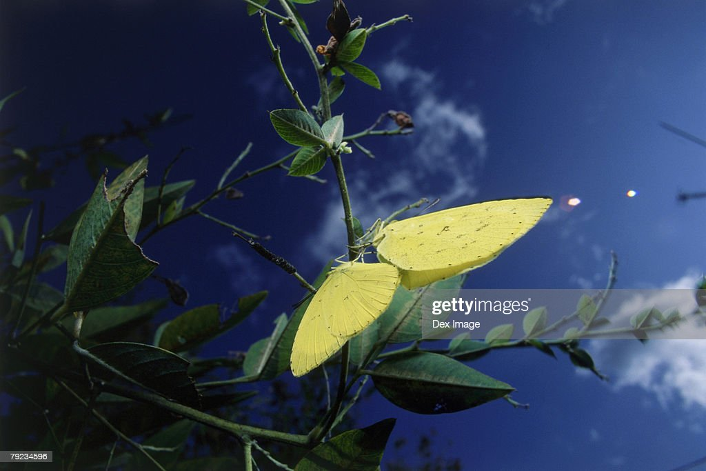 Two Clouded yellow butterflies mating on a leaf, close-up : Stock Photo