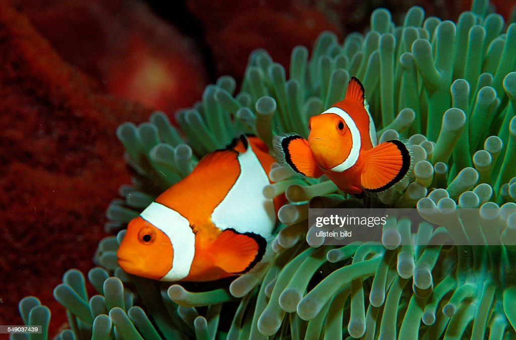 Two Clown anemonefishes Amphiprion ocellaris Indonesia Bali Indischer Ozean