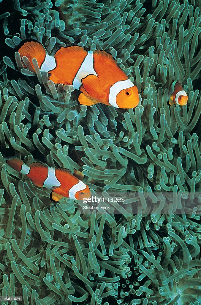 Two Clownfish (Amphiprion ocellaris) : Stock Photo