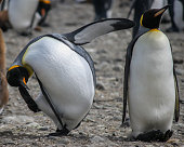 Two funny King penguins (Aptenodytes patagonicus) on a beach in Antarctica, tourism photo