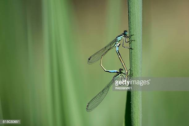 Two common blue damselflies, Enallagma cyathigerum, hanging at blade of grass in front of green background