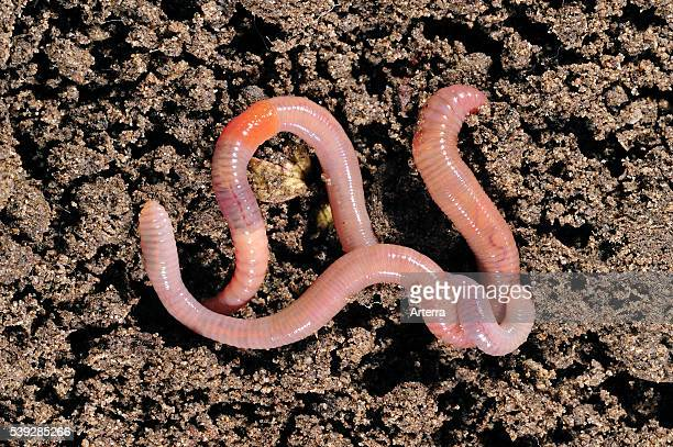 Two common earthworms / lob worms crawling on the ground in garden