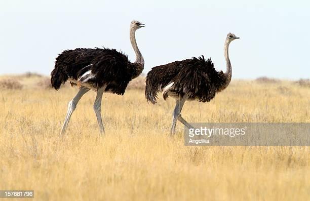 Dos Ostrichs común, parque nacional de Etosha, Namibia