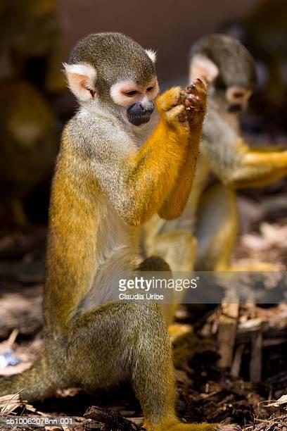 Two common squirrel monkeys (Saimiri sciureus), close-up