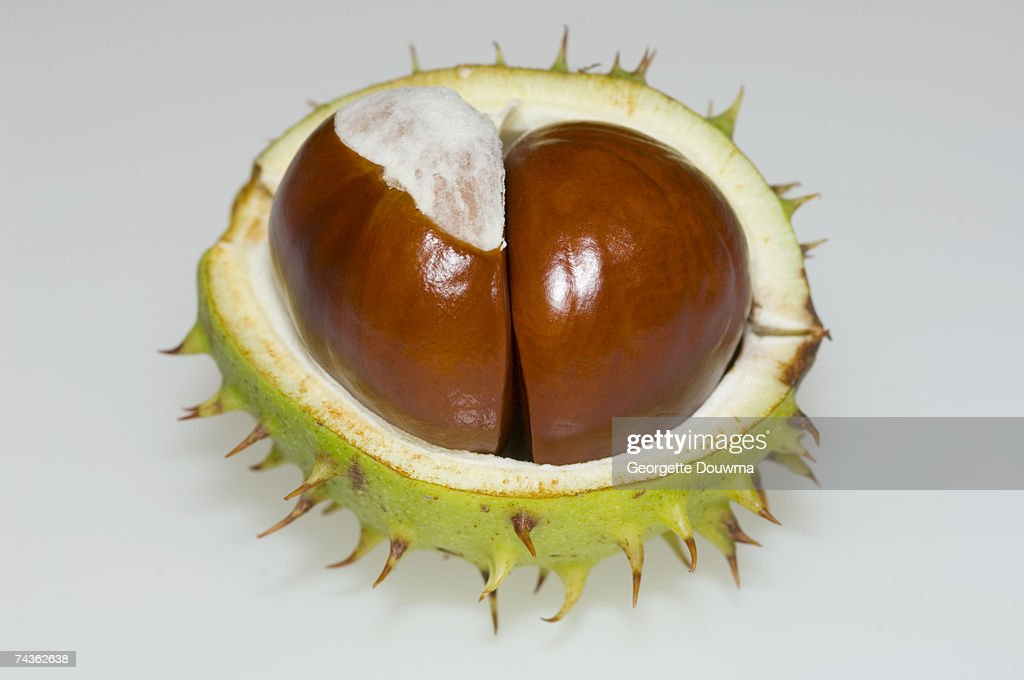 Two conkers in chestnut, close-up : Stock Photo