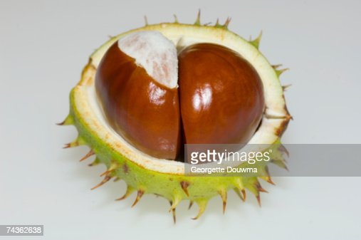 Two conkers in chestnut, close-up : Photo