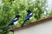 Romantic meeting of a beautiful bird pair. Eurasian magpie or common magpie.