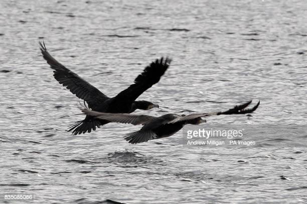 Two cormorants in flight at Bonnybridge Angling Club on Drumbowie Reservoir near Denny central Scotland