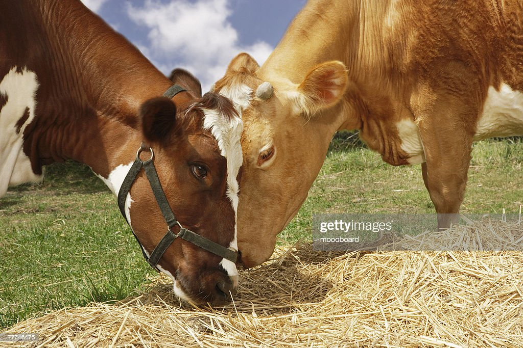 Two Cows Eating Straw : Stock Photo